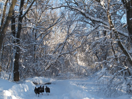 Wild turkeys in the snowy UW Madison Arboretum