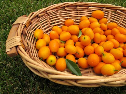 Freshly-picked kumquats!
