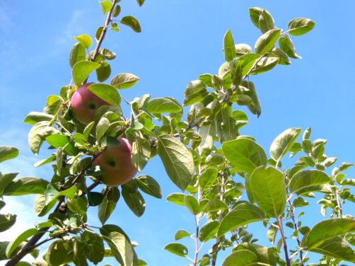 Picking McIntosh and Cortland apples in Wisconsin